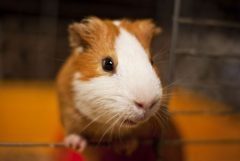 A curious guinea pig looking out of it's cage.